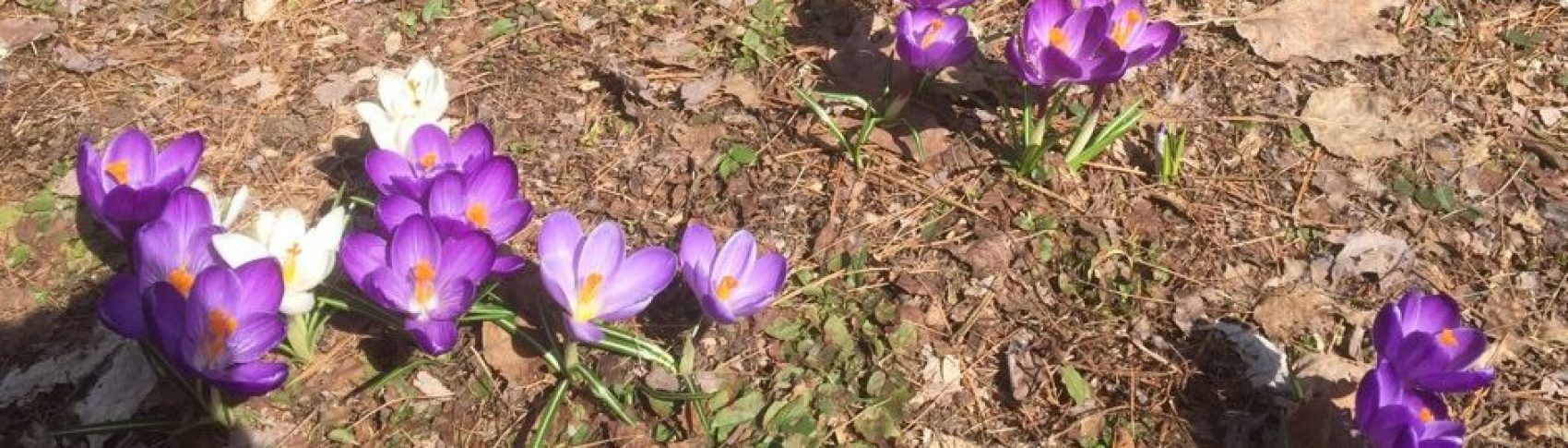 Early Spring flowers peaking through the ground in the backyard (Photo by Grace Denniss)